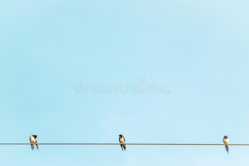 Black and white color feather swallow birds sit on electric cable wire rural summer environment against blue sky background royalty free stock image