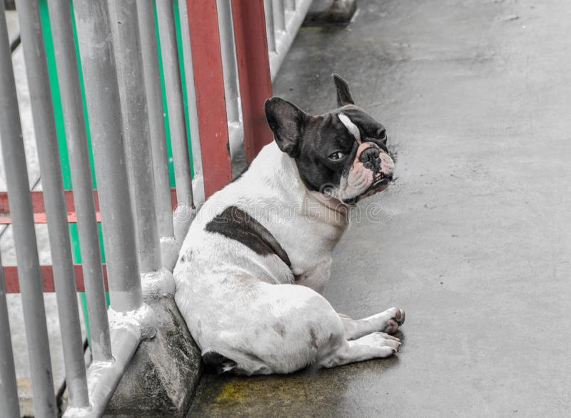 The black-white color of the pug dog sit on the cement wet floor after the rain and Looking at your camera, Cute and Small dog stock photo