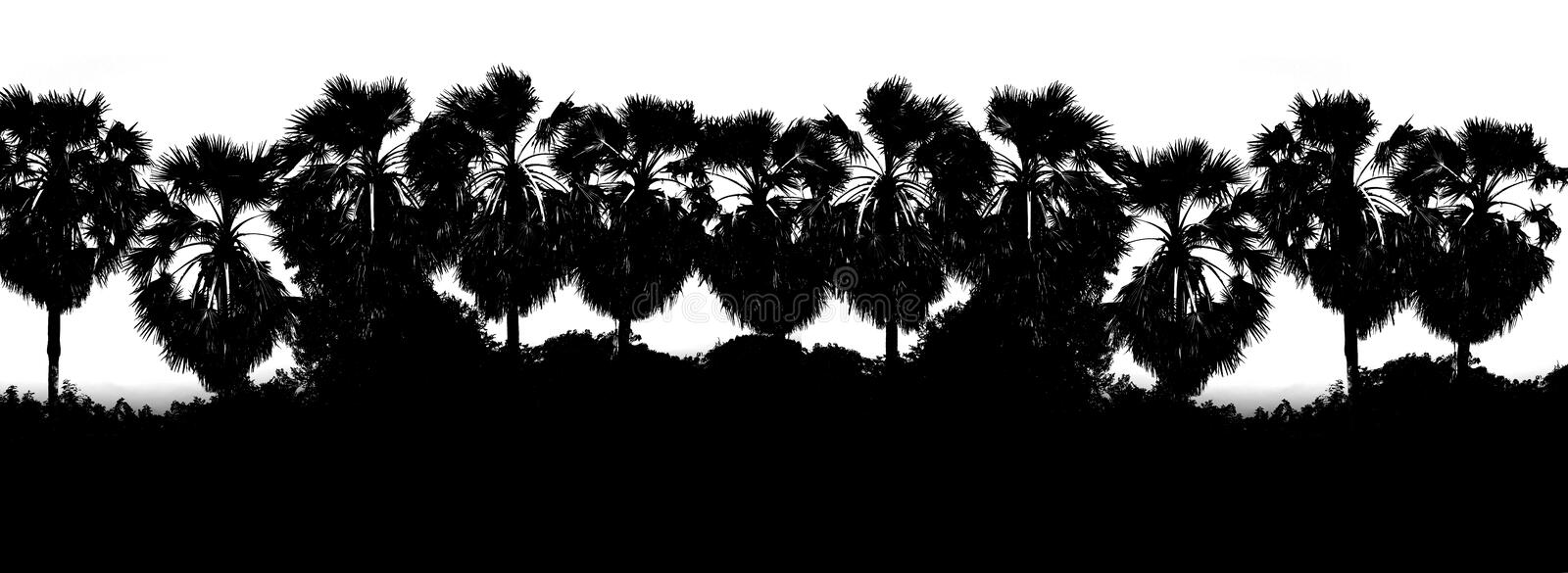 Black White color Row sugar palm tree branch silhouette background, Tree shape palm background jungle, Picture Tree of art Black stock images