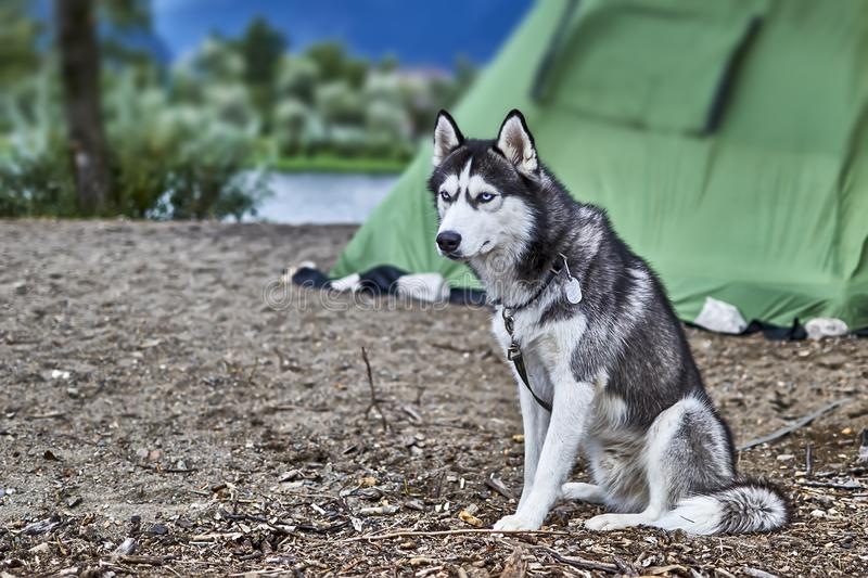 Black and white color Siberian. Husky with blue eyes sitting on the sand and stares with head bowed stock image