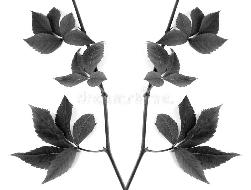 Black and white composition of twigs grapes leave royalty free stock image