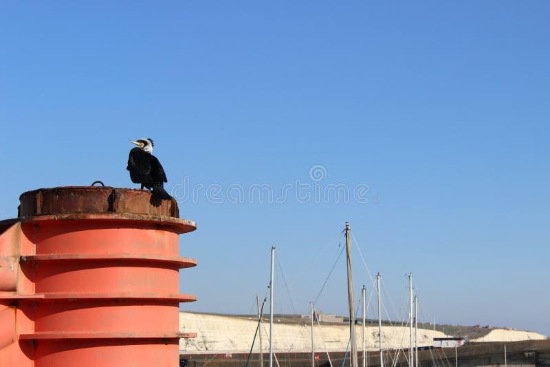 Black and white Cormorant in the Winter sun marina stock photography