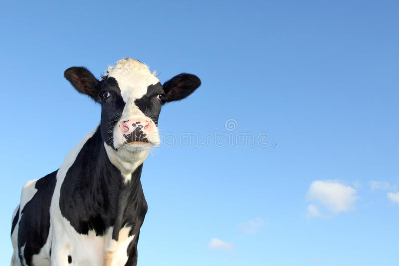 Download Black and white cow stock image. Image of animal, ears - 27452583