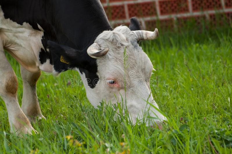 Black white cow on the street eats green grass.Black white cow in nature. Black white cow grasses animal grazing pasture holstein farm cattle field meadow royalty free stock images