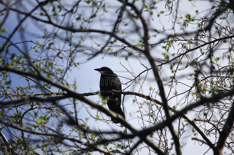 Black and white crow in tree. Black and white crow in branches of old tree on sunny day royalty free stock photography