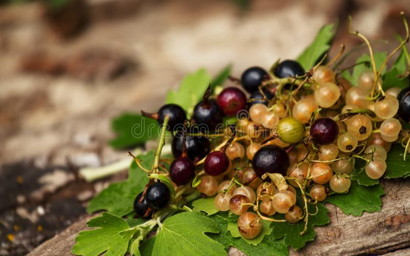 Black and white currant with leaves on the old stump, selective stock photos