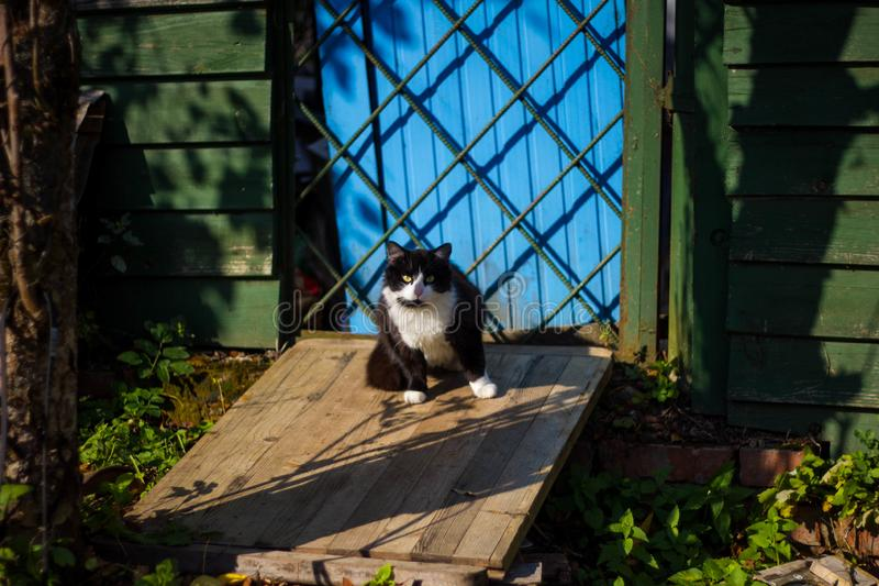 Black and white cute cat sitting on the porch of a wooden green house with a blue door on a Sunny day stock photo