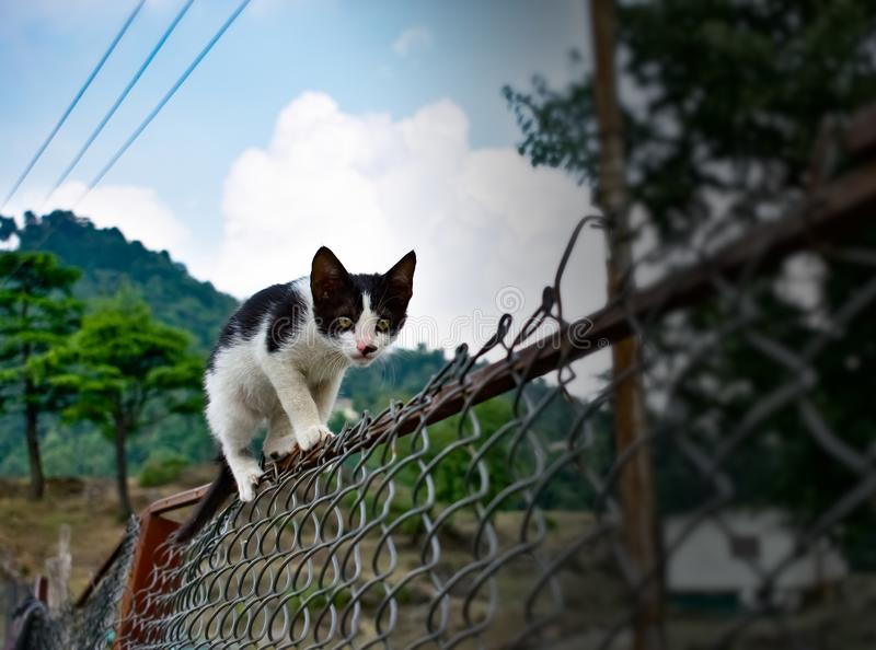 Black and white cute cat walking on the fence in the garden in mountains very funny cat stock photos