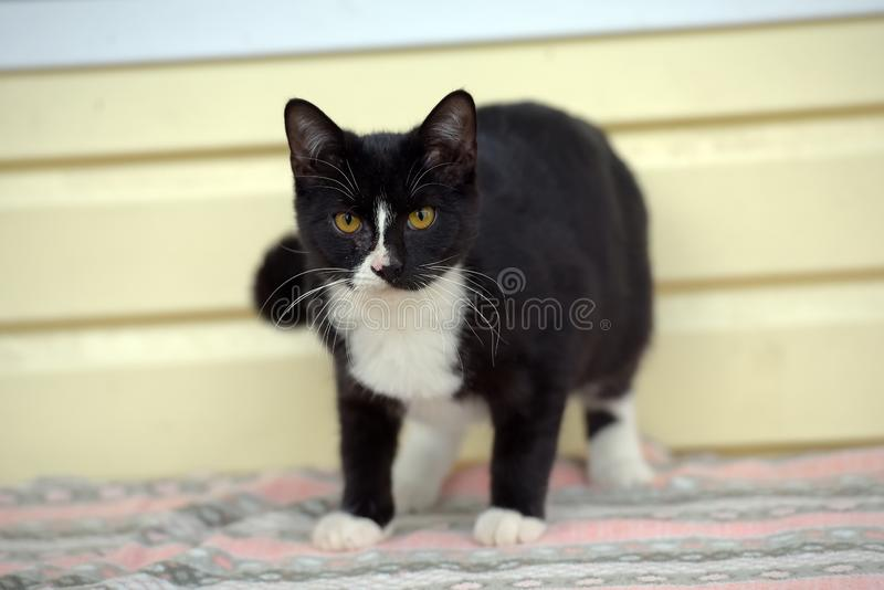 Black with white cute cat stock image
