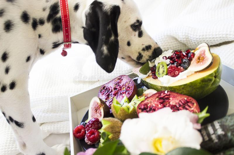 Black and White Dalmatian Dog Eating Fruits stock images