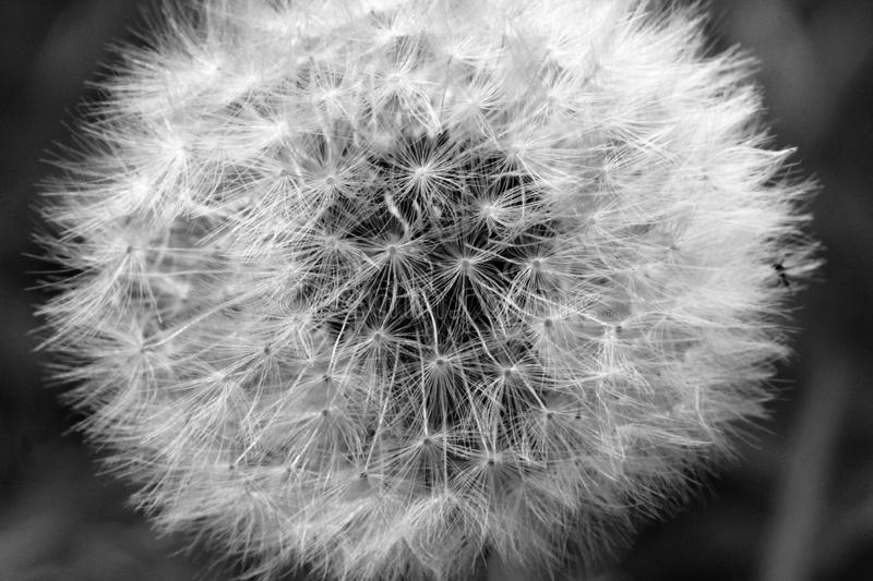 Black and White Dandelion. Black and white photograph of a dandelion, ready to be blown away stock images