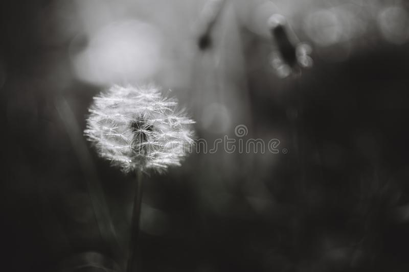Black and white dandelion stock images