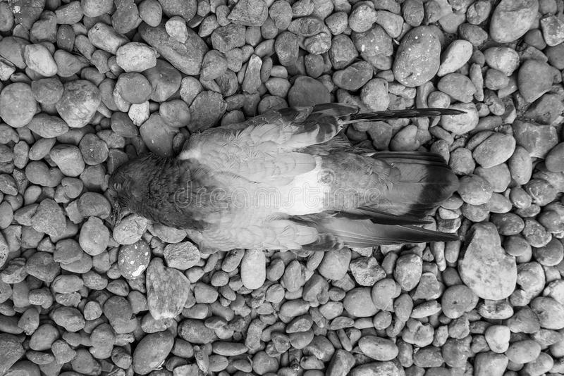 Black and White Dead pigeon. royalty free stock photo