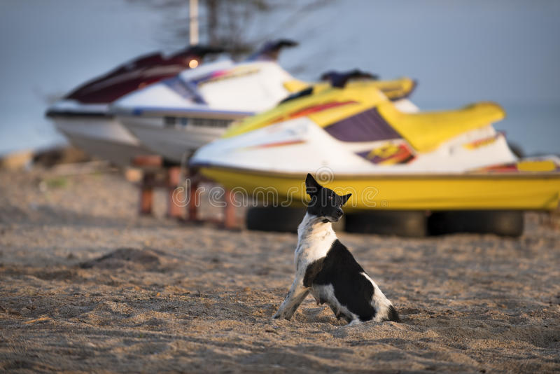 Black and white dog on the beach. royalty free stock photography