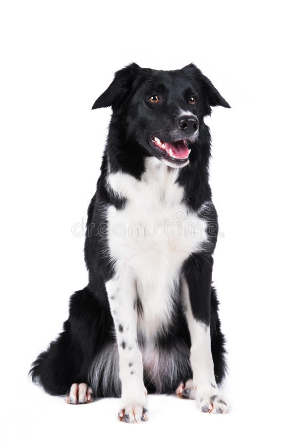 Black and white dog border collie isolated. Black and white dog border collie full portrait isolated on white royalty free stock photo