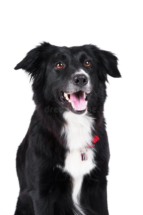 Black and white dog border collie isolated stock image