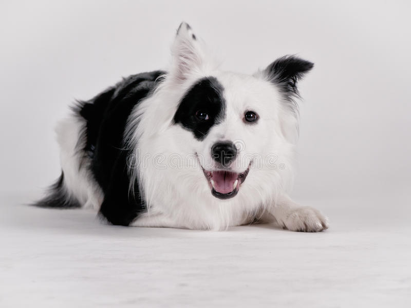 Download Black and white dog (41) stock image. Image of domesticated - 36018035