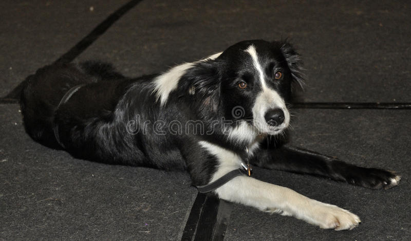 Download Black and white dog stock image. Image of front, shot - 39513691