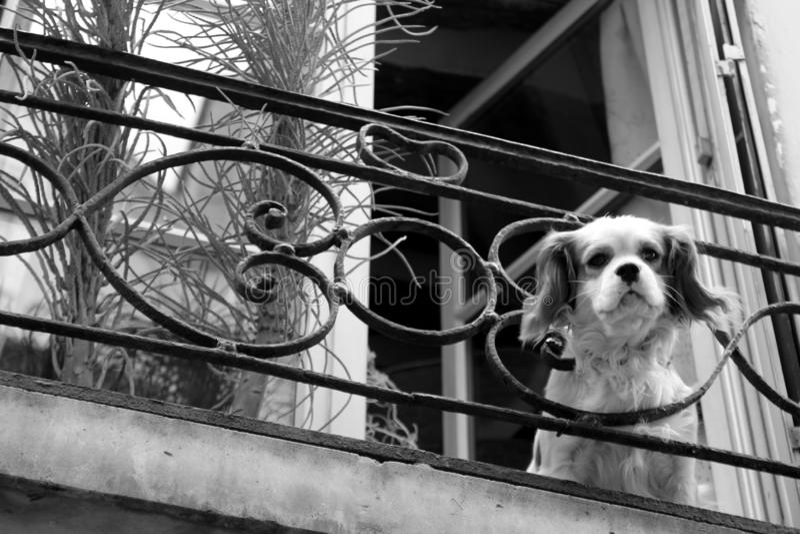 Black And White, Dog, Mammal, Dog Like Mammal stock image