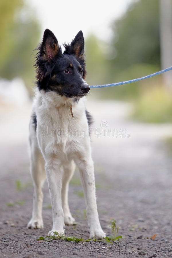 Black-and-white Dog. Royalty Free Stock Photo