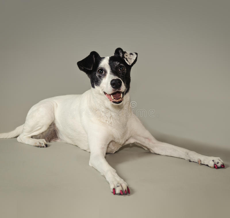 Black and White Dog. Priscilla against a grey background. She goes to the Phoenix Childrens Hospital to help young children recover from surgeries and illness royalty free stock photography