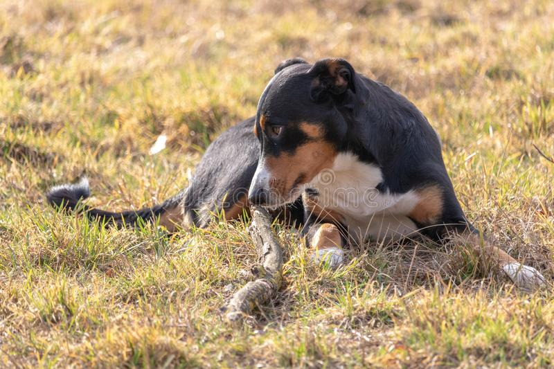 Black and white dog in spring. Appenzeller Mountain Dog. Huge dog chewing on a stick royalty free stock image