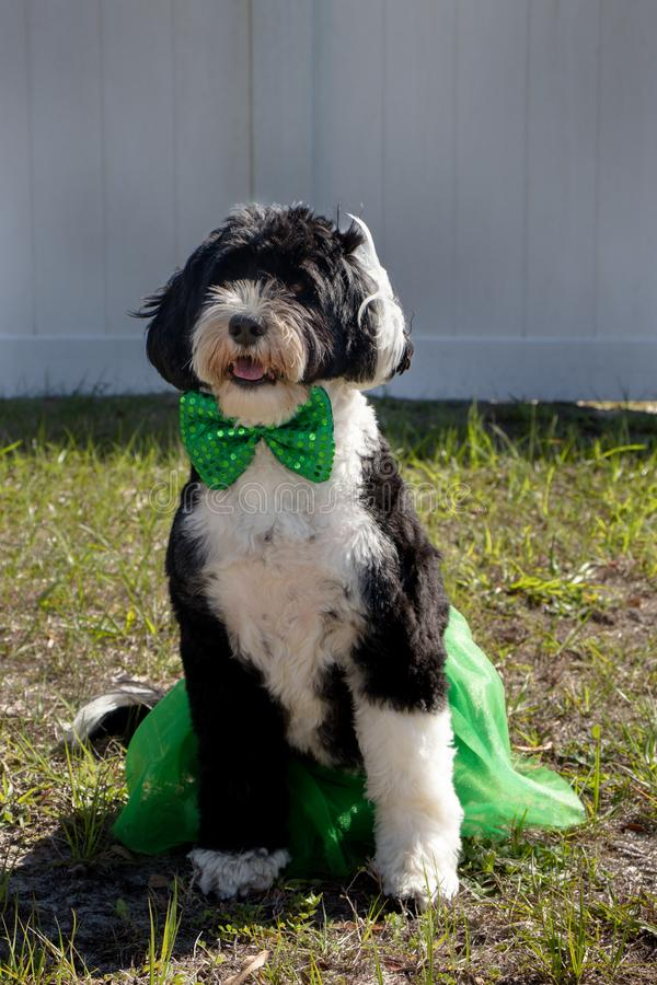 Black and white dog wearing a green skirt and bow tie royalty free stock photo