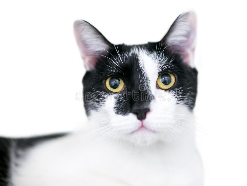 A black and white domestic shorthair cat with yellow eyes and dilated pupils. On a white background royalty free stock images
