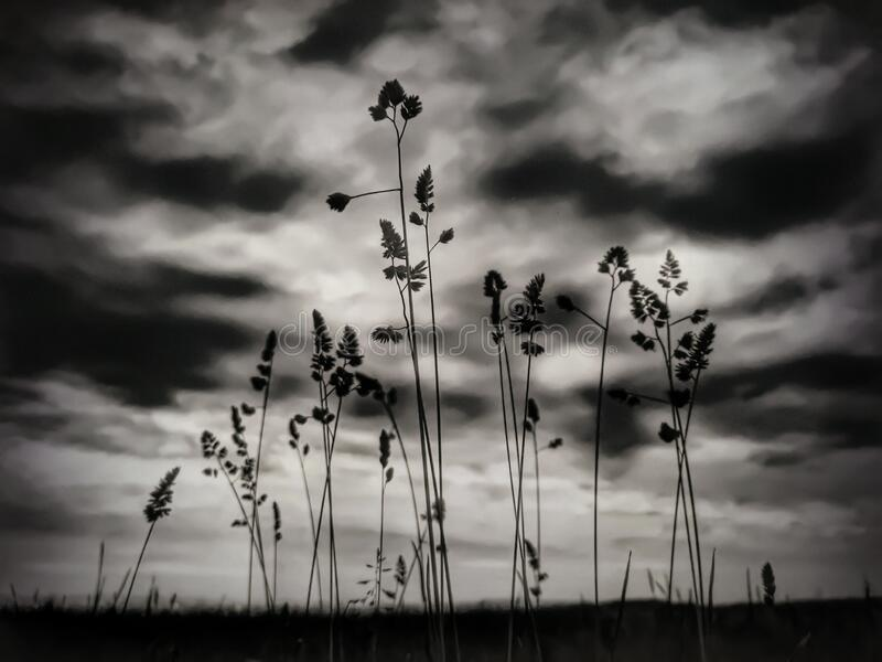 Black and White dramatic grass. Landscape in evening nature stock photography
