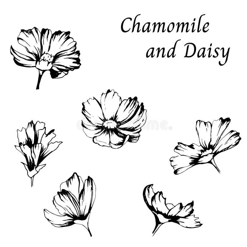 Black and white drawing. Set of contours of daisy flowers on a white background. Vector illustration drawn by hand. Black and white drawing. Set of contours of vector illustration