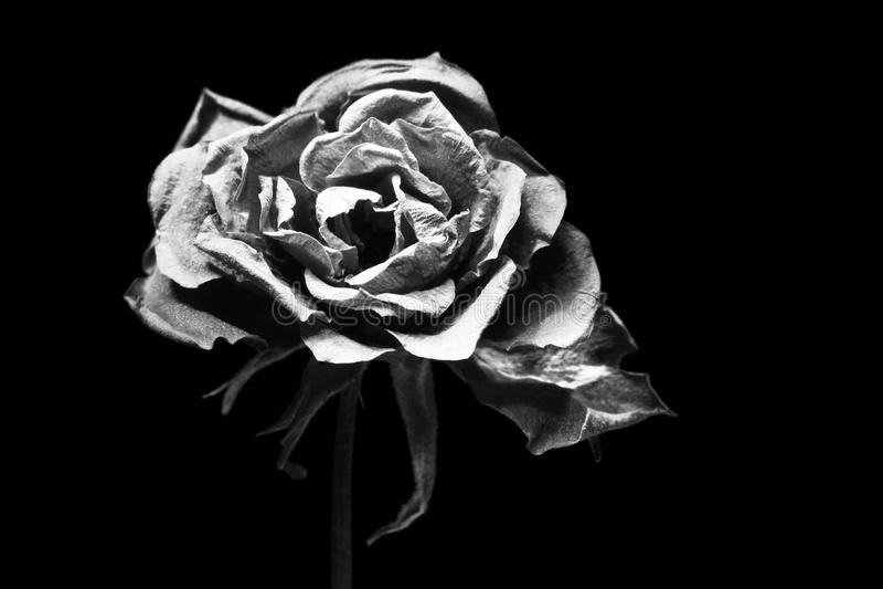 Black and white dry rose on black. Black and white dry rose isolated on black background stock images