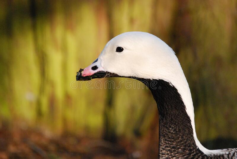 Black and White Duck Close Up Photo royalty free stock image