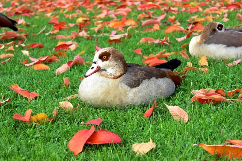 Black and White Duck on Green Grass Field during Daytime stock photo
