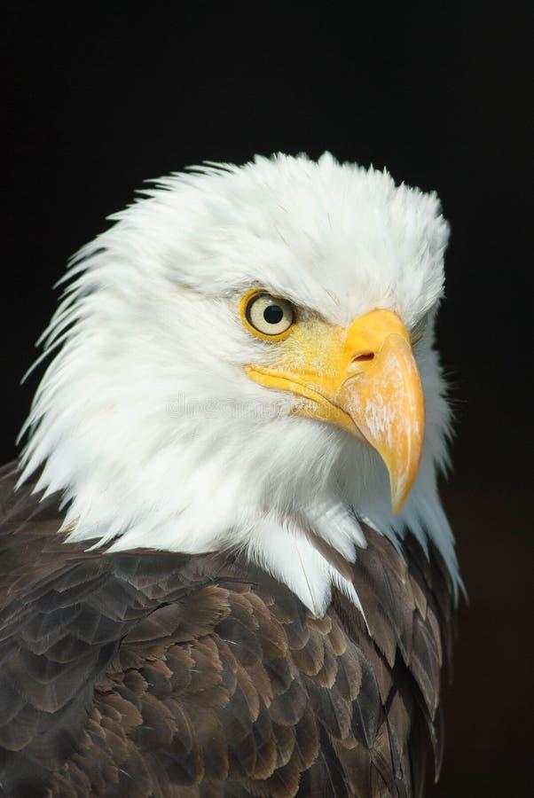 Black And White Eagle Free Public Domain Cc0 Image
