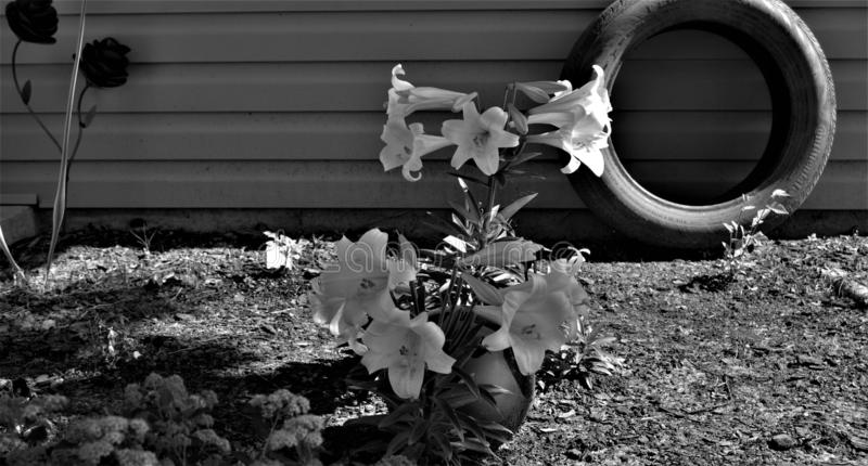 Black and White of Easter Lilies stock photo