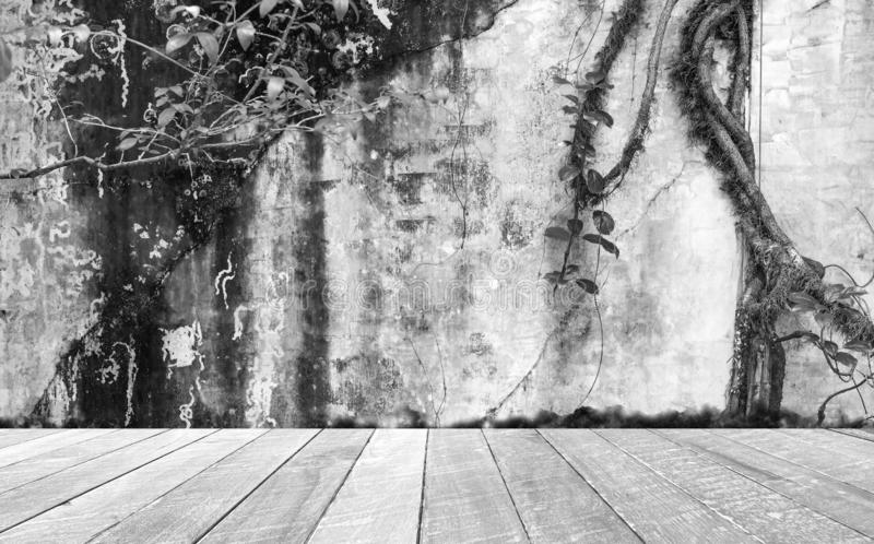Black and white empty room with dirty wall and ivy tree and wooden floor . Blank space for text and images.  royalty free stock photo