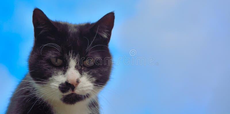 Black and white European house cat stock image