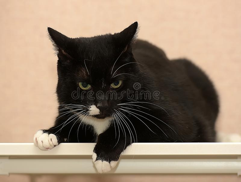 Black and white fat cat. Beautiful black and white fat cat royalty free stock photos