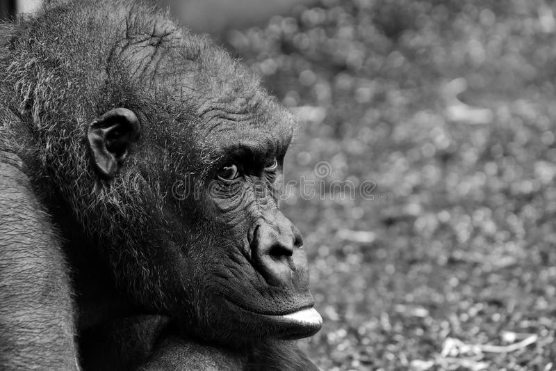 Black, Black And White, Fauna, Mammal royalty free stock images