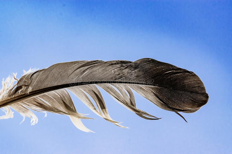 Black and white feather of a dove on a blue sky background, macro stock photo