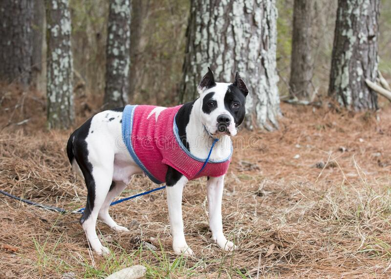 Black and white female pitbull with cropped ears wearing pink doggy sweater. Black and white female American Pit Bull Terrier dog with cropped ears wearing pink royalty free stock photography
