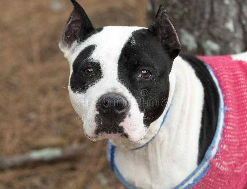 Black and white female pitbull with cropped ears wearing pink doggy sweater. Black and white female American Pit Bull Terrier dog with cropped ears wearing pink royalty free stock image