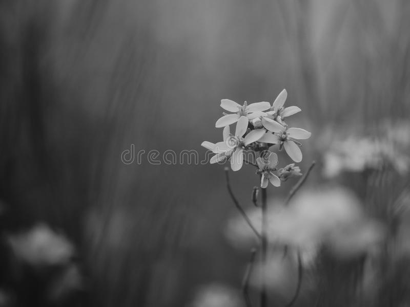 Flower with black and white stock photos