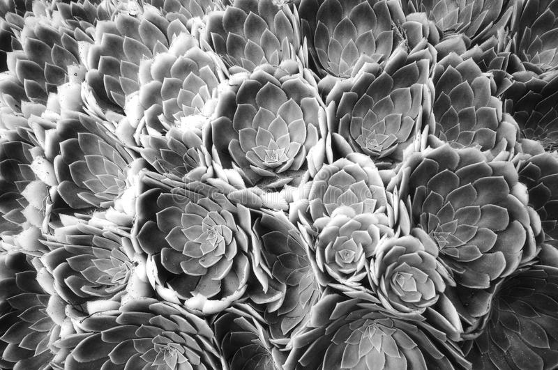 Black and white flower abstract. Aeonium arboreum, black and white flower abstract royalty free stock photography