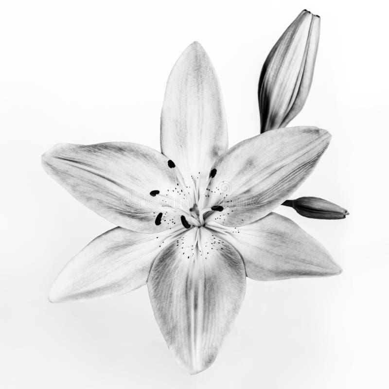 Black & White Flower royalty free stock images