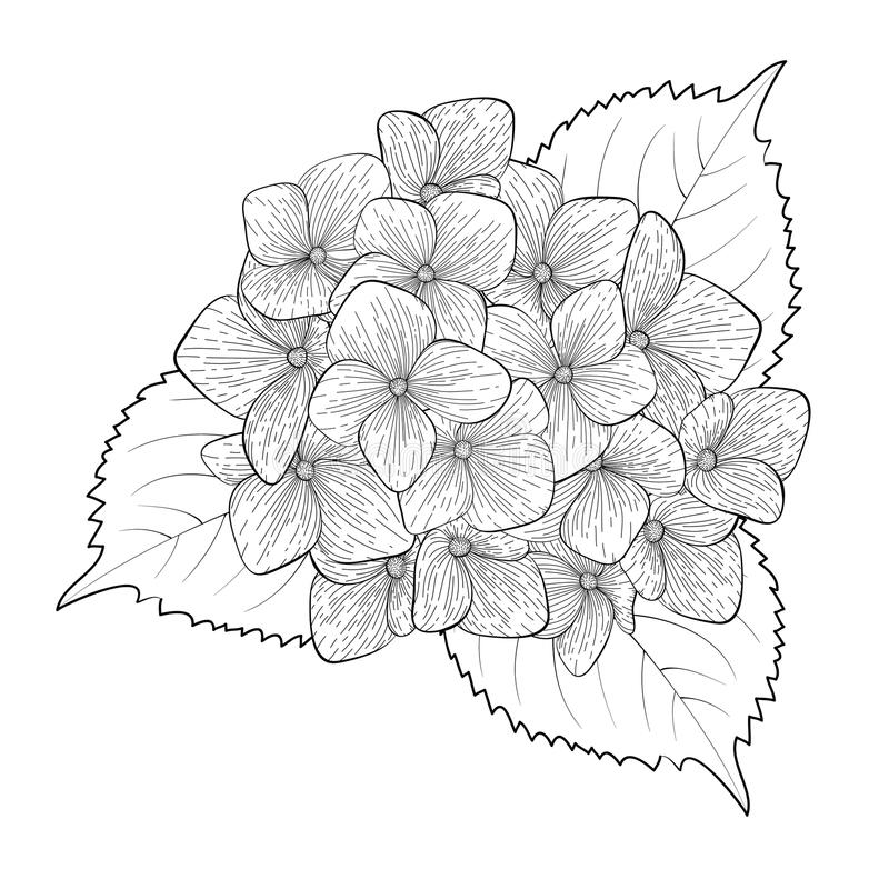 Black and white flower hydrangea isolated vector illustration