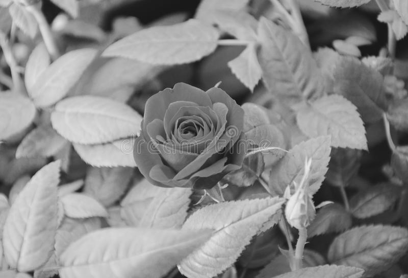 Black And White, Flower, Monochrome Photography, Rose Family stock image