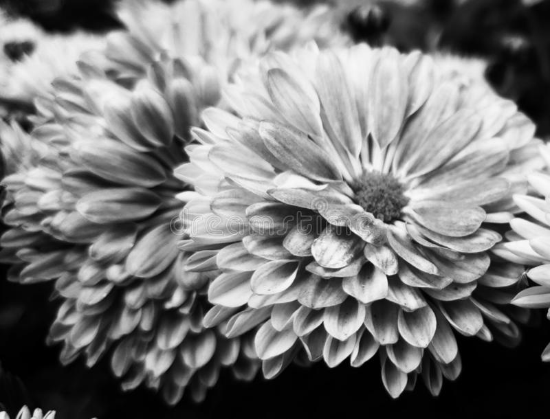 Black and White. Flower, nature, beaut, beauty stock photo