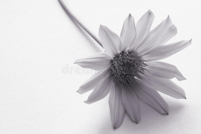 Black and White Flower royalty free stock photos