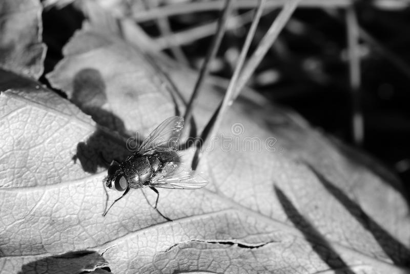 Black and white fly royalty free stock photography